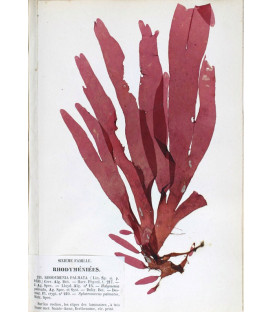Dulse powder - wild harvested